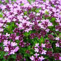 60 seeds Thymus serpyllum 'Creeping Thyme' Ground Covers - $12.99
