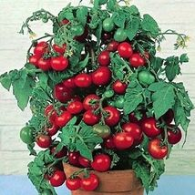 50 Pcs Tomato Seeds, Tiny Tim Heirloom Tomato Seeds Grows One Foot Tall - $13.99