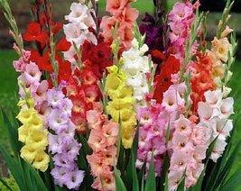 50 Bulb of Gladiolus Mixture - Glads - $93.06