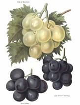 Vintage Fruit Prints: Duke of Buccleuch - Fruit Growers Guide - 1880 - $12.95+