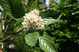 5 Sorbus aria Seeds. Aria nivea Seeds, - $8.00