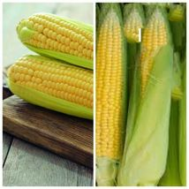 Fresh Early Golden Bantam Sweet Corn 100 Seeds #SMB15 - $24.17