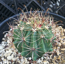 Ferocactus wislezenii Fish Hook Central Spines Barrel Cactus Cactus 131 - $10.84