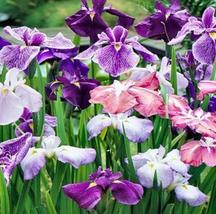 6 Seeds - Japanese Iris Ensata New Crop - $12.75