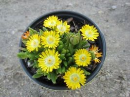 Ship From Us 100 Seeds Gelato Yellow Ice Plant Daisy Livingstone Flower SBR4 - $11.99