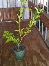 "Barbados, Acerola Cherry Tree Plant,  Live Plant, Pesticide Free 12"" cut... - $28.00"