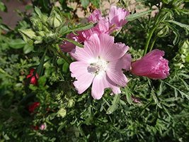 126 pcs/pkt Musk Mallow Tree Seeds For Planting - $24.75