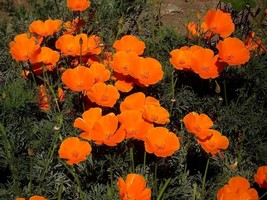 Beautiful California Poppy! 30 Seeds - Comb. S/H - Very Drought Tolerant! - $15.48