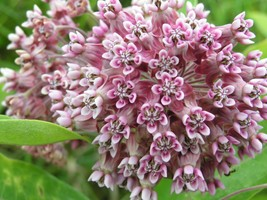 Ship From Us 100 Pink Common Milkweed Asclepias Syriaca Monarchs! Flower Sbr - $11.99