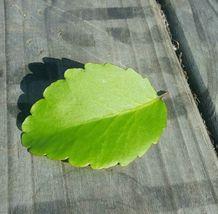 2 LEAVES Kalanchoe pinnata Life Plant - $6.00