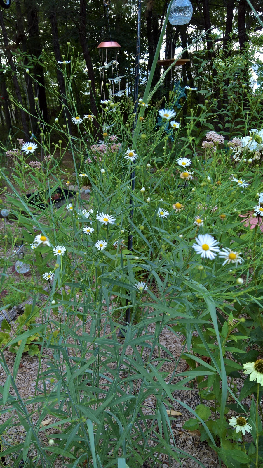 Organic Boltonia, False Aster, Butterflies, Pollinators