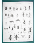 ENTOMOLOGY Chafer Weevil Long Horned Beetles - c. 1835 Fine Quality Print - $17.22