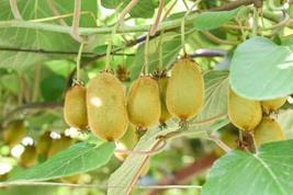 Plant Hardy Kiwi Fruit Vine Actinidia deliciosa Saanichton Female FREE SHIP - $38.00