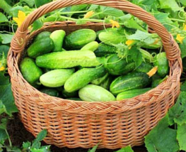 50 pcs Cucumber Hotspur Prickly Short Vegetables Seeds very delicious  - $14.86