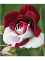 100 SEED white and red roses mixed seed seed scarcity of rare flowers po... - $4.20