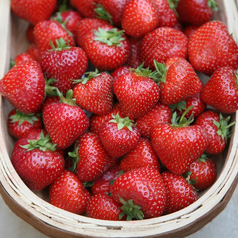 Primary image for 10 Organic Albion Everbearing Strawberry Plants Large Sweet Berry Bare Root