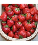 10 Organic Albion Everbearing Strawberry Plants Large Sweet Berry Bare Root - $24.40
