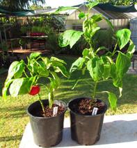 Organic Green Bell Pepper bonsai Healthy Organic Vegetable plant and Garden - $5.88