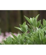 Sage Broadleaf Non GMO Heirloom Aromatic Culinary Garden Herb Seeds Sow ... - $2.66+