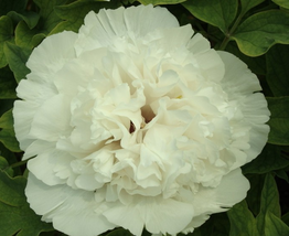 5pcs New Rare 'Jin Si Guan Ding' White Peony Tree Flower Seeds Is Very Graceful - $12.94