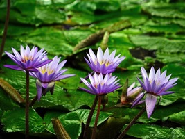 1 Professional Pack 1 seed / pack, Purple Water Lily Pond Bud Flower Seed Garden - $5.90