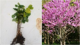 Eastern Red Bud (Cercis canadensis) 25 bare root - Home Garden - $55.99