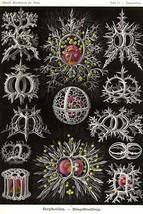 Stephoidea by Ernst Haekel - Art Print - $19.99+