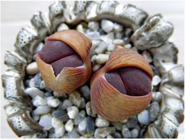 SHIPPED From US_Lithops lesliei Fred`s Redhead-100 SEEDS rock living stones-EC - $56.99