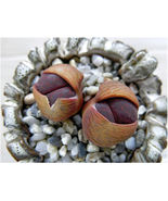 SHIPPED From US_Lithops lesliei Fred`s Redhead-100 SEEDS rock living sto... - $56.99