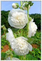 100 White - Violet Giant Danish Double Hollyhock Flower Seeds - $5.50