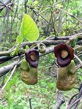 5 Seeds of Aristolochia Manshuriensis Dutchmans Pipe Vine Exotic - $16.83