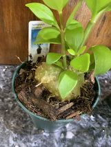 Hydnophytum papaunum And puffii ANT  PLANTS Orchid Companions TWO @ ONE PRICE! image 3