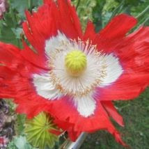 POPPY Danish Flag Papaver Somniflorum Red & White Annual 30 SEEDS - $7.45