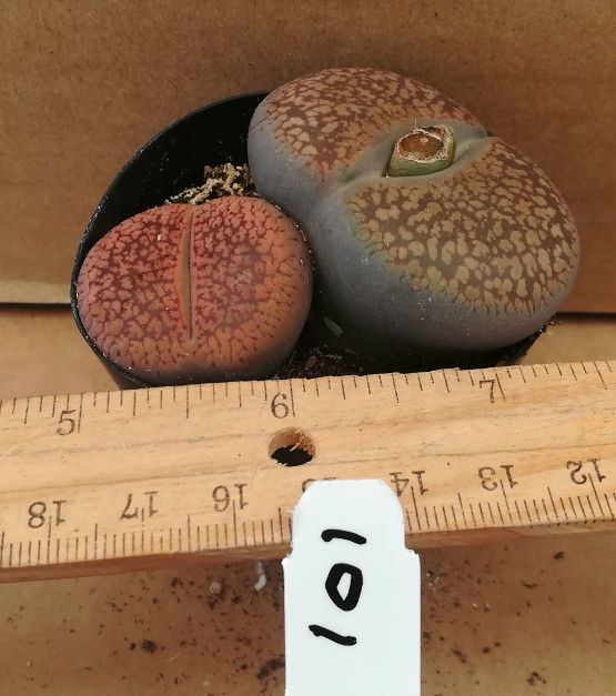 Lithops Varieties Group E