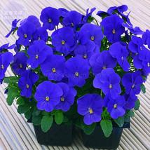 Best Price 30 Seeds Viola Cornuta Blue Pansy,Diy Flower Seeds E4152 Dg - $4.99