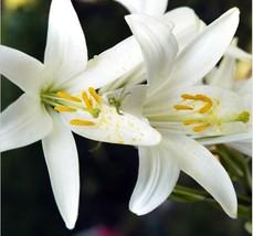 HAPPY FLOWER 2 Bulbs KOTALAMA True Lily Bulbs Perfume Flower High germin... - $2.98