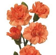 50 Carnation (Chabaud Orange) Seeds - $8.99