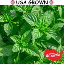 2 grams of Genovese Basil Herb Seeds, Sweet Basil, FREE SHIPPING, NON GM... - $9.99