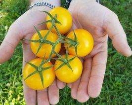 SHIP FROM US YELLOW PEAR TOMATO 30+ SEEDS HEIRLOOM NON-GMO DELICIOUS TGV1 - $11.56