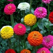 Zinnia Lilliput Mix 100 Flower Seeds - $12.98