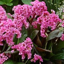 4 Bare Root of Bergenia Pink Dragonfly - $114.84