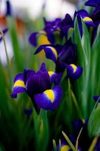 5 bulbs - Dutch Iris Blue Purple Yellow Perennial - Spring Blooming - $18.99