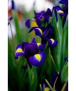 5 bulbs - Dutch Iris Blue Purple Yellow Perennial - Spring Blooming - $18.99
