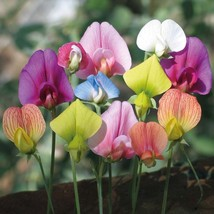 60 Seeds Sweet Pea Lathyrus Lord Anson's Bitter Vetch Everlasting white pink red - $9.87