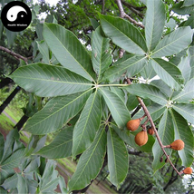 Buy Aesculus Tree Seeds 20pcs Plant Aesculus Chinensis For Seven Leaves ... - $9.99