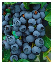 1 Gallon Pot  Bluejay Blueberry Bush Hardy Perennial 1 Plant FREESHIP - $81.00