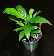 "Houseplant Peace Lily Spathiphyllum Shipped in 4"" Beautiful  - $33.19"