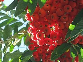 European Mountain Ash Rowan Fruit Tree with Berries Live Plant 8-12 inches tall - $55.50