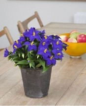 Exacum-Sapphire ,PEL Seeds  - ideal for Baskets... - $2.89 - $9.75
