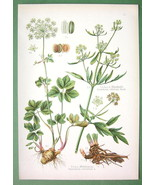 MEDICINAL PLANTS Masterwort & Lovage - 1890s COLOR Lithograph Antique Print - $13.49